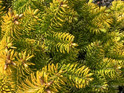 Abies nordmanniana' Golden Spreader'