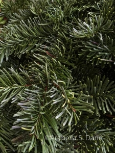 Abies magnifica