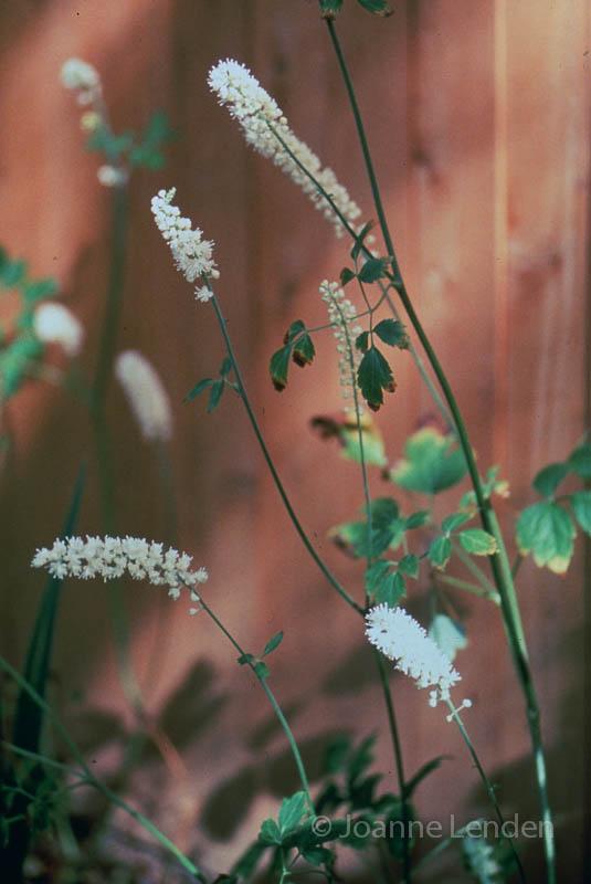 Actaea cimicifuga var. racemosa  cv.