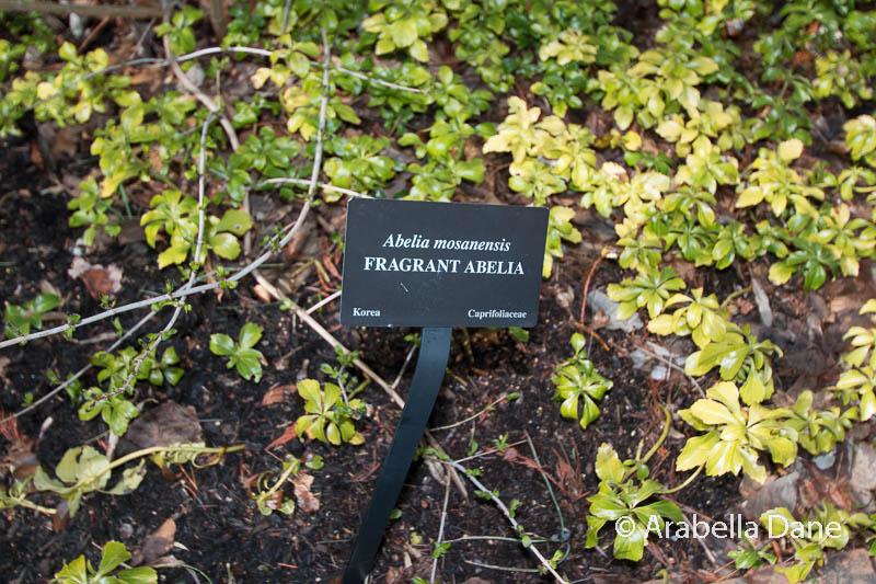 Abelia mosanenis