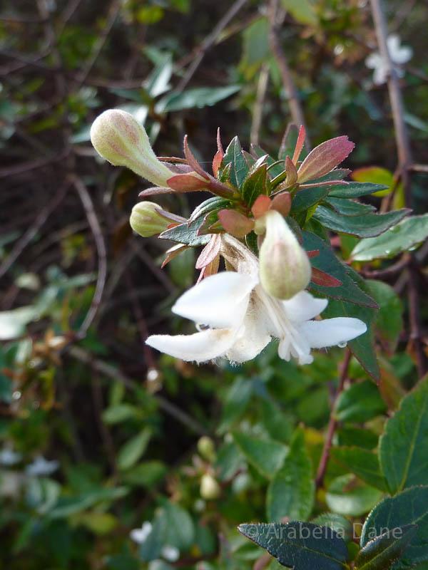Abelia x grandiflora cv.