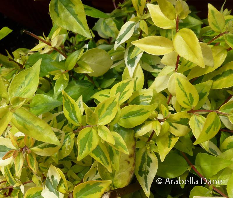 Abelia x grandiflora 'Kaleidoscope' PP16988