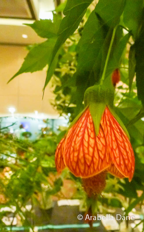 Abutilon 'Magic Lantern'