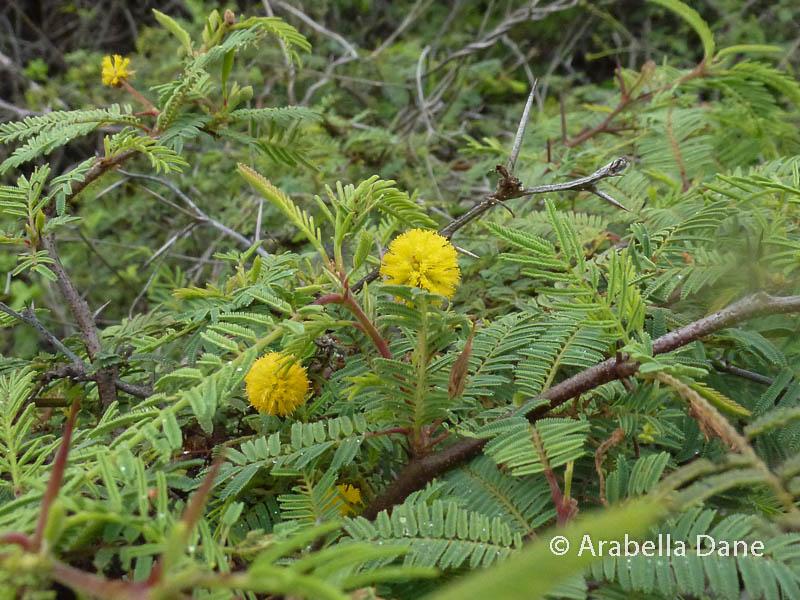 Acacia insulae-iacobi