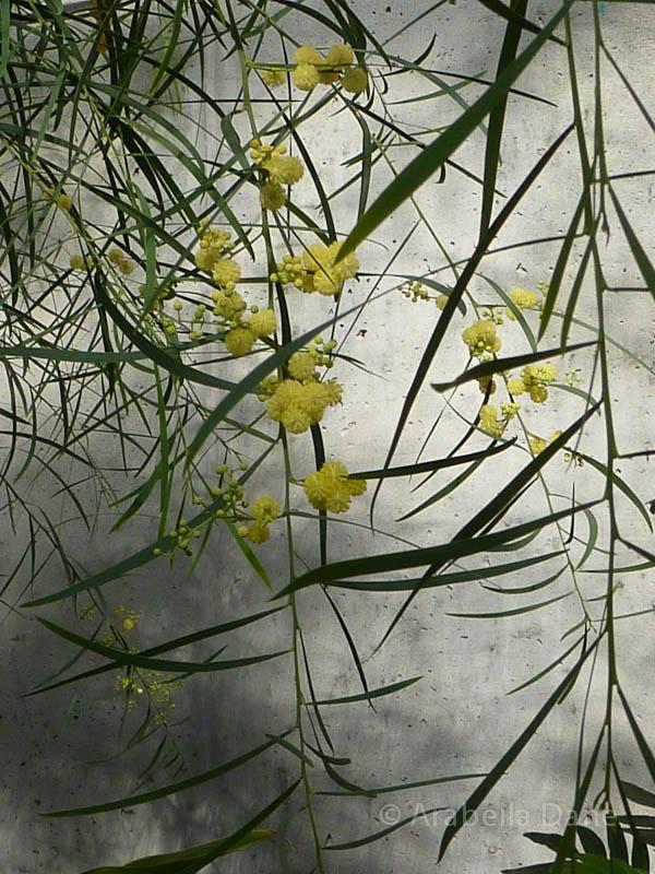 Acacia cv.