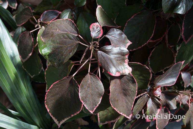 Acalypha cuneata
