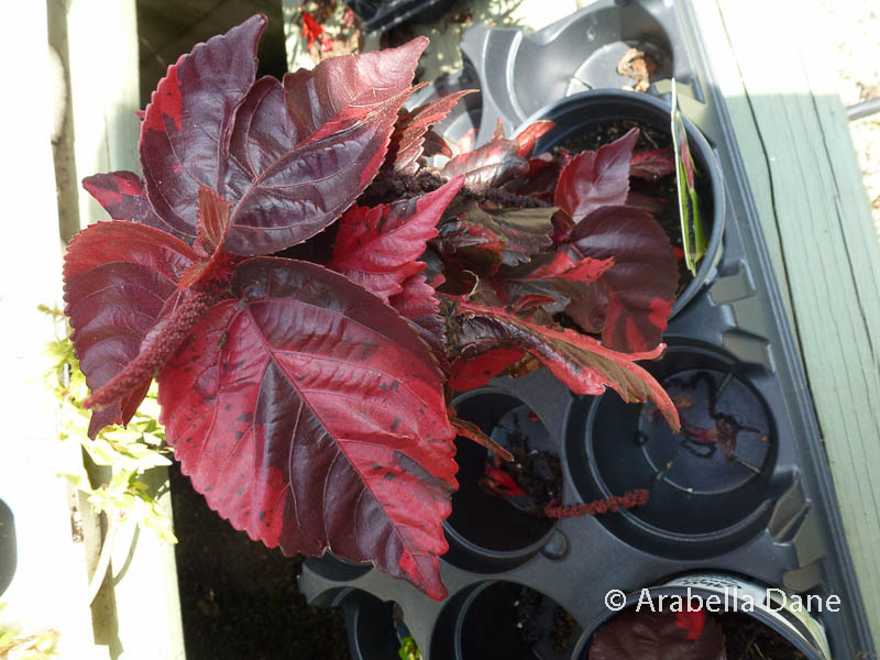 Acalypha wilkesiana 'Bronze Pink'