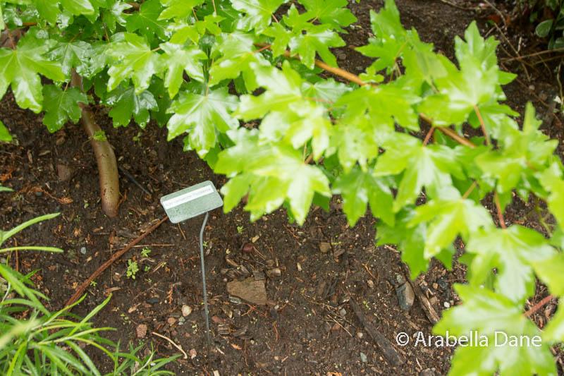 Acer campestre 'Postalence'