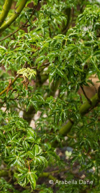 Acer palmatum 'Shishigashira'