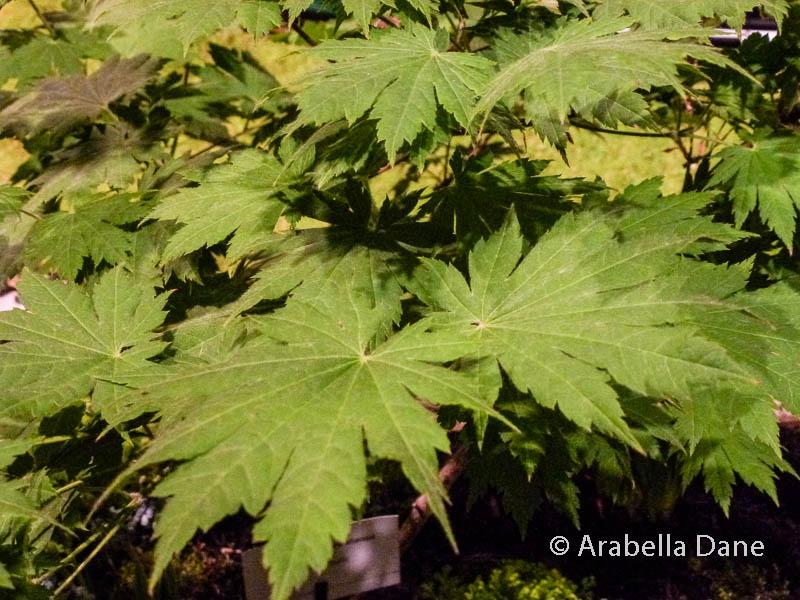Acer pseudosieboldianum cv.