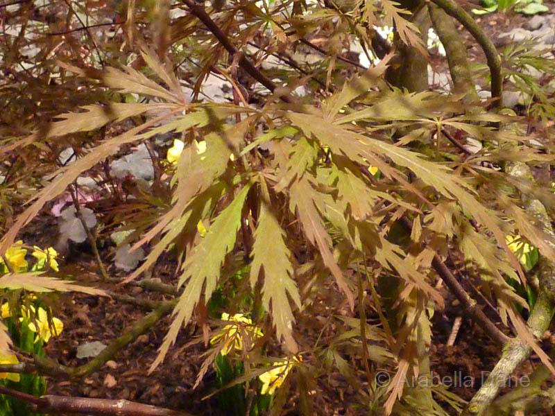 Acer palmatum 'Dissectum' (= Acer palmatum cv.)
