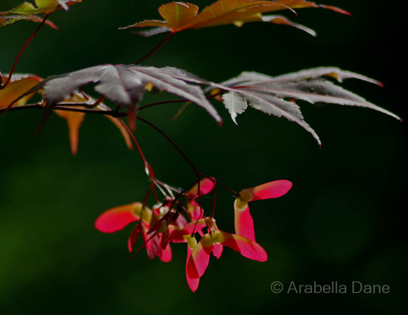 Acer palmatum cv.
