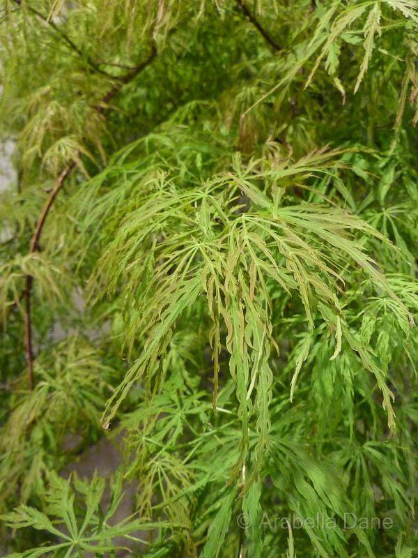 Acer palmatum 'Oyama Nishiki'
