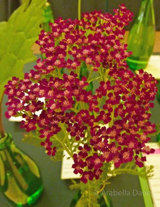 Achillea millefolium 'Moonshine Magenta'