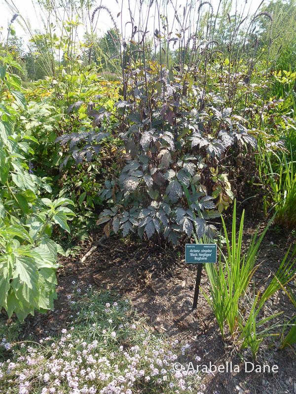 Actaea simplex 'Black Negligee' (ATROPURPUREA GROUP)