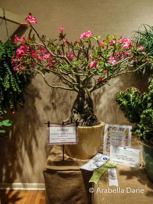 Adenium obesum cv.