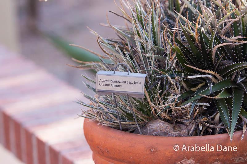 Agave toumeyana var. bella