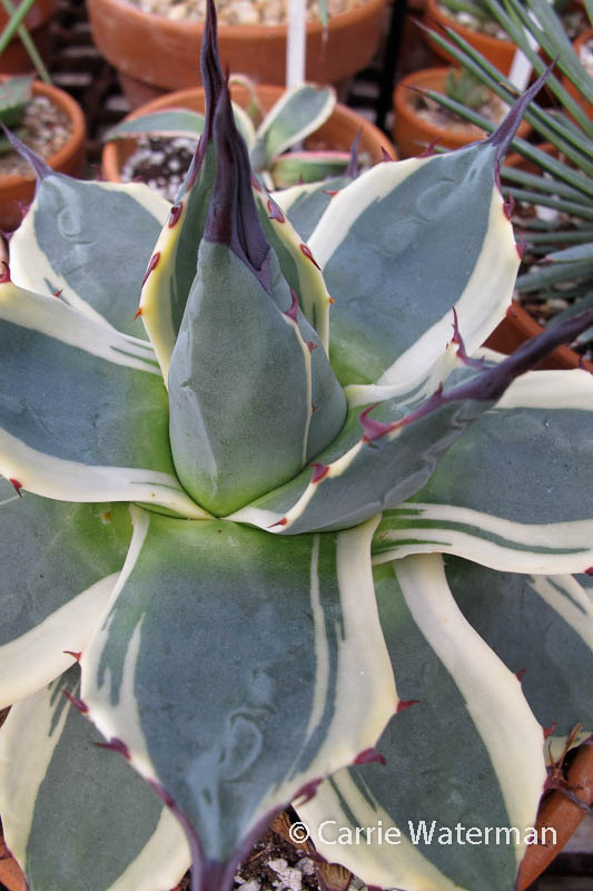 Agave parryi cv.