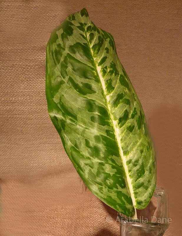 Aglaonema cv.