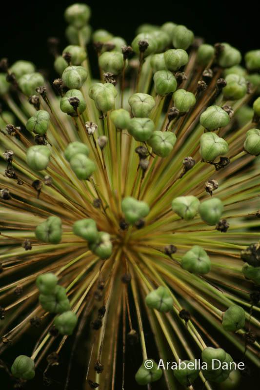 Allium giganteum cv.