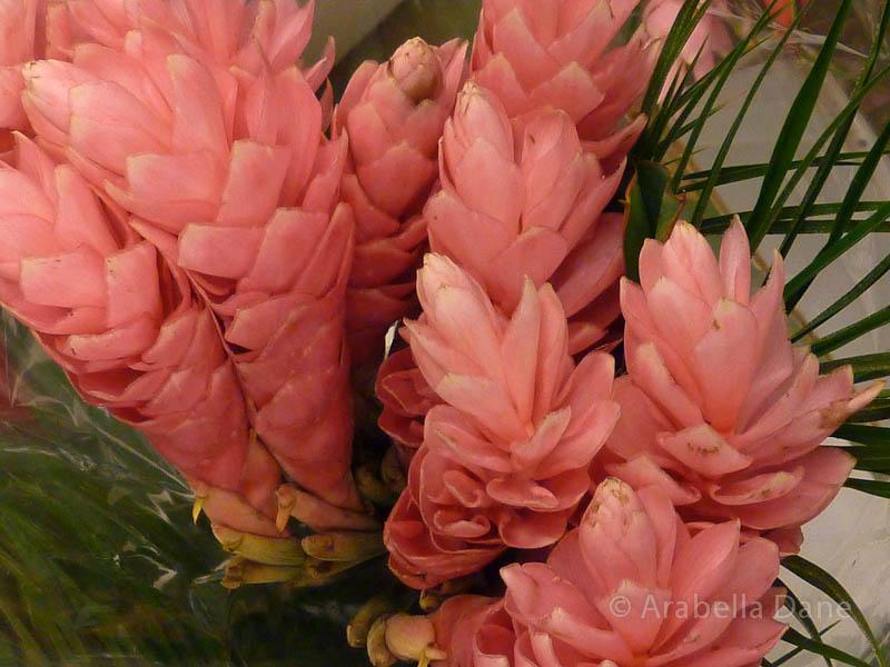 Alpinia cv.