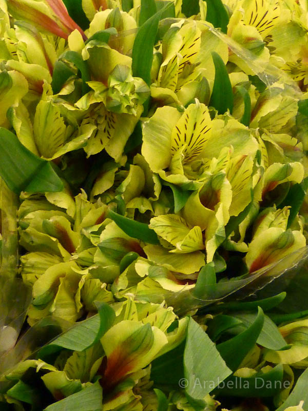 Alstroemeria cv.
