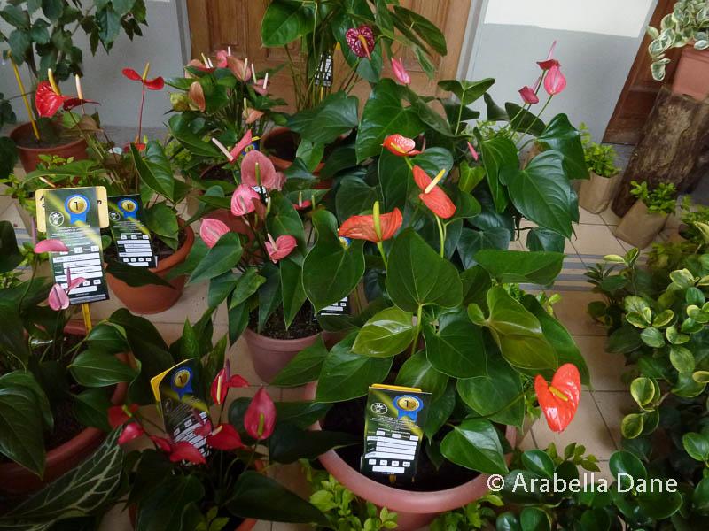 Anthurium andraeanum cv.
