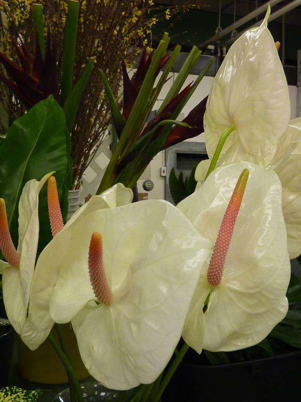 Anthurium cv.