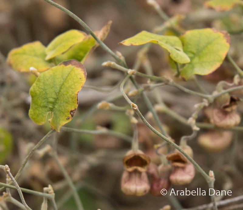 Aristolochia sp.