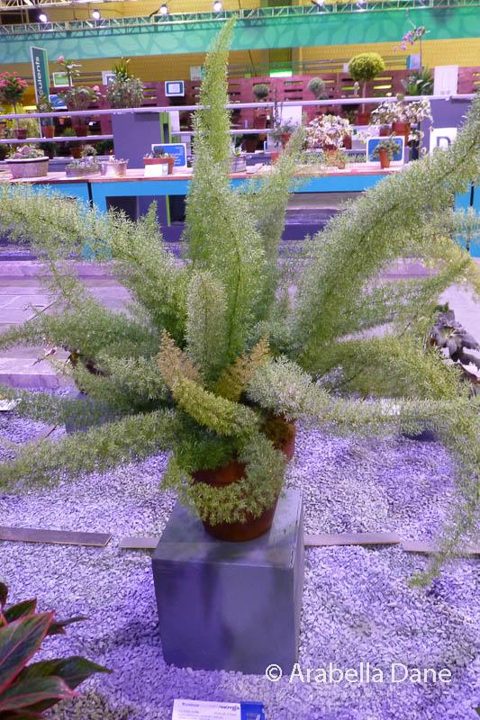 Asparagus densiflorus cv.