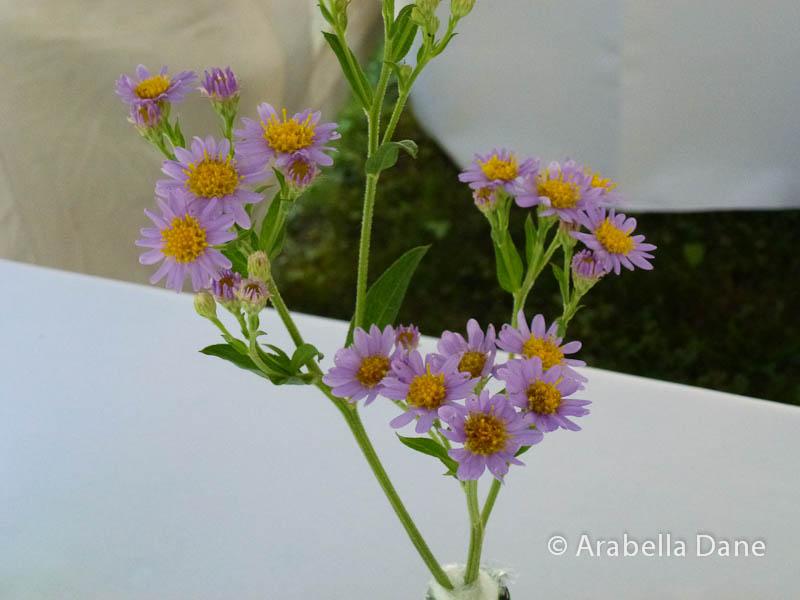 Aster tataricus