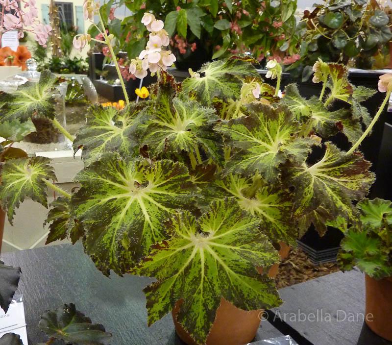 Begonia cv.