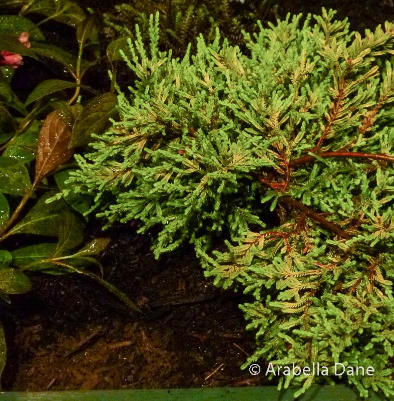 Calluna vulgaris cv.