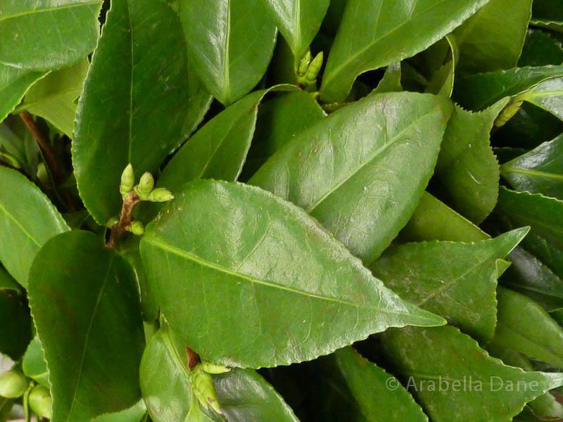 Camellia cv.