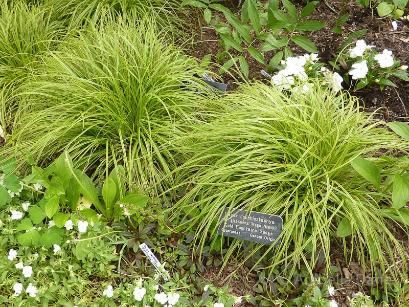 Carex cv.