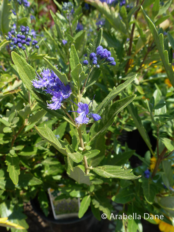 Caryopteris x clandonensis 'First Choice' PPAF