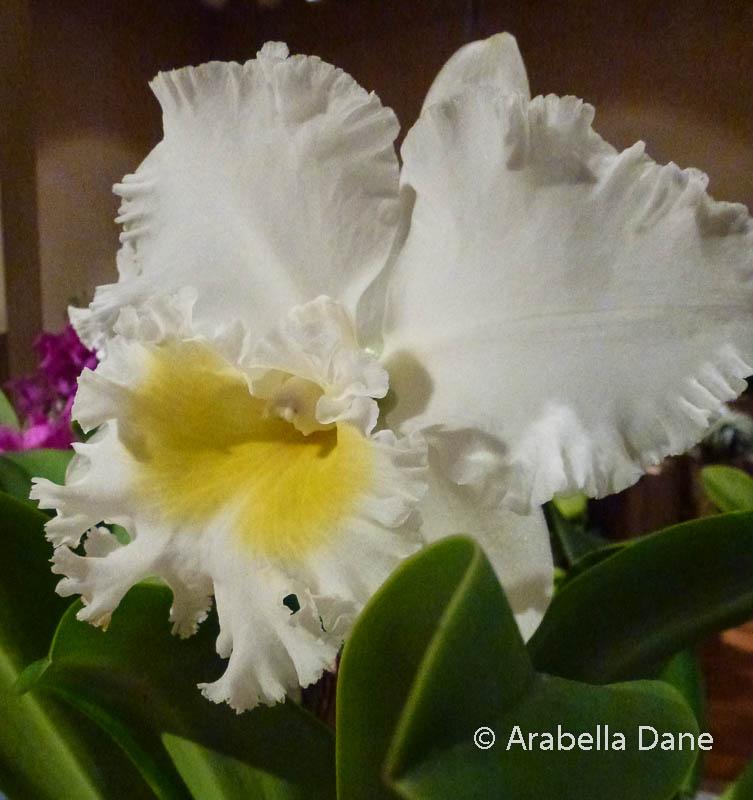 Cattleya cv.