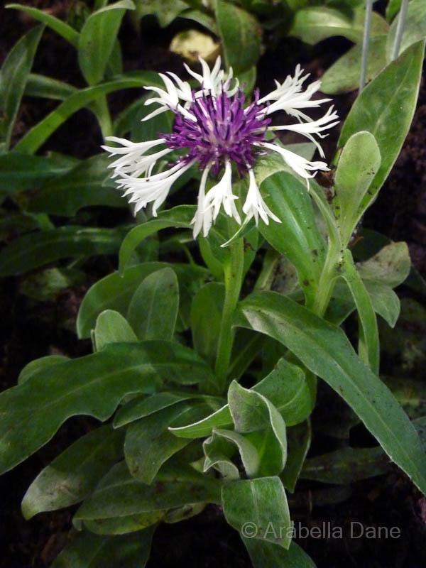 Centaurea cv.