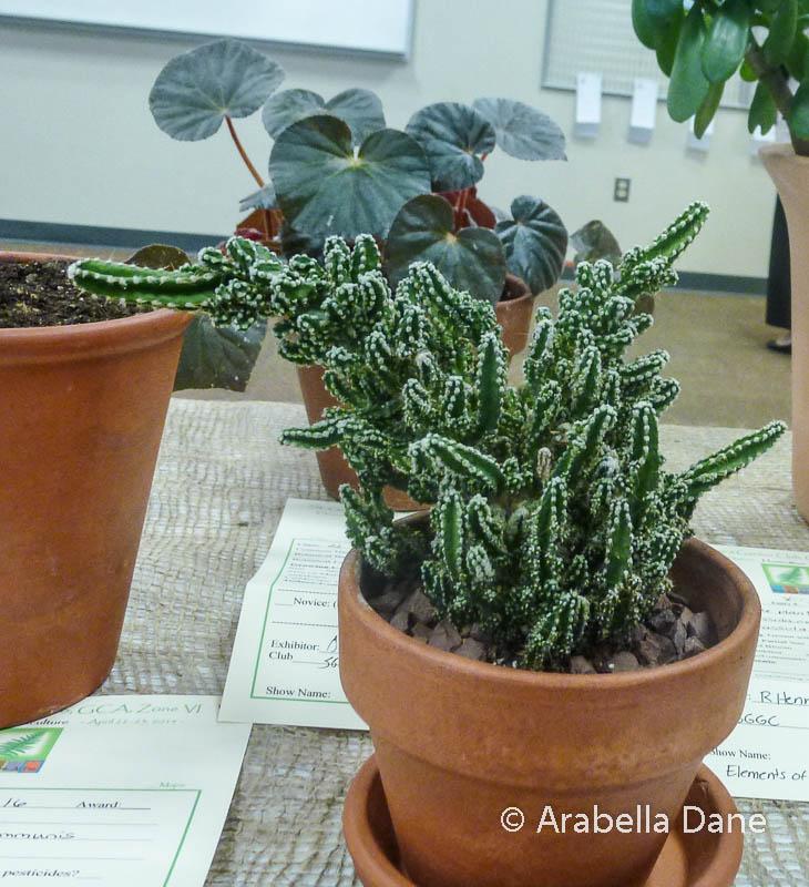 Acanthocereus tetragonus 'Fairy Castle'