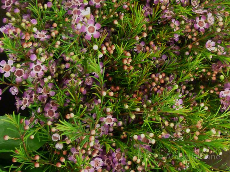 Chamelaucium cv.