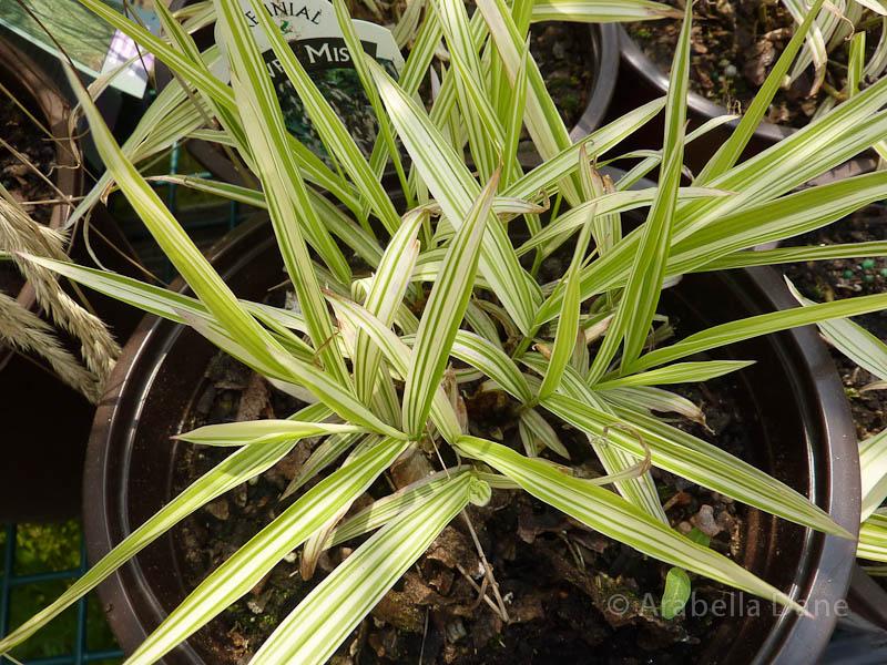 Chasmanthium latifolium 'River Mist' PPAF