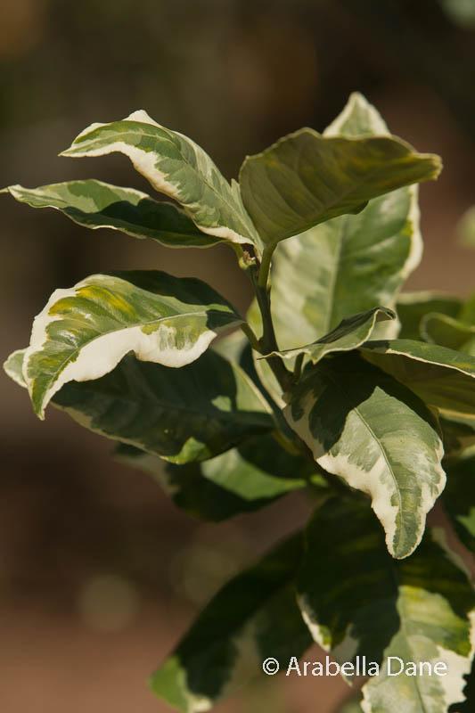 Citrus limon cv.
