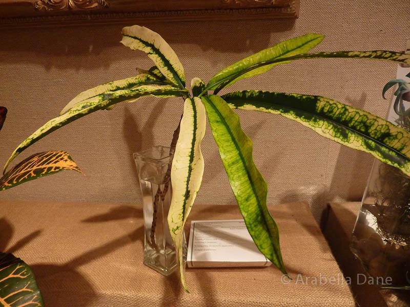 Codiaeum cv.