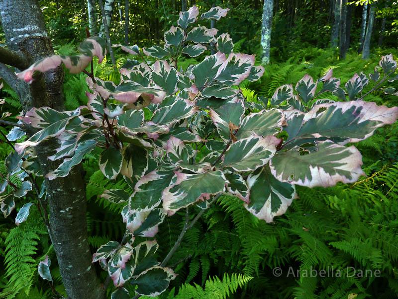Fagus grandifolia 'Tricolor'