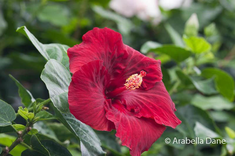 Hibiscus rosa-sinensis 'Nightfire'