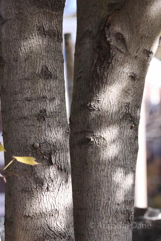 Acer pseudoplatanus 'Erectum'