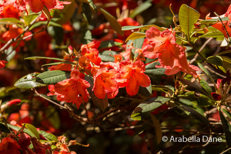 Rhododendron cv.
