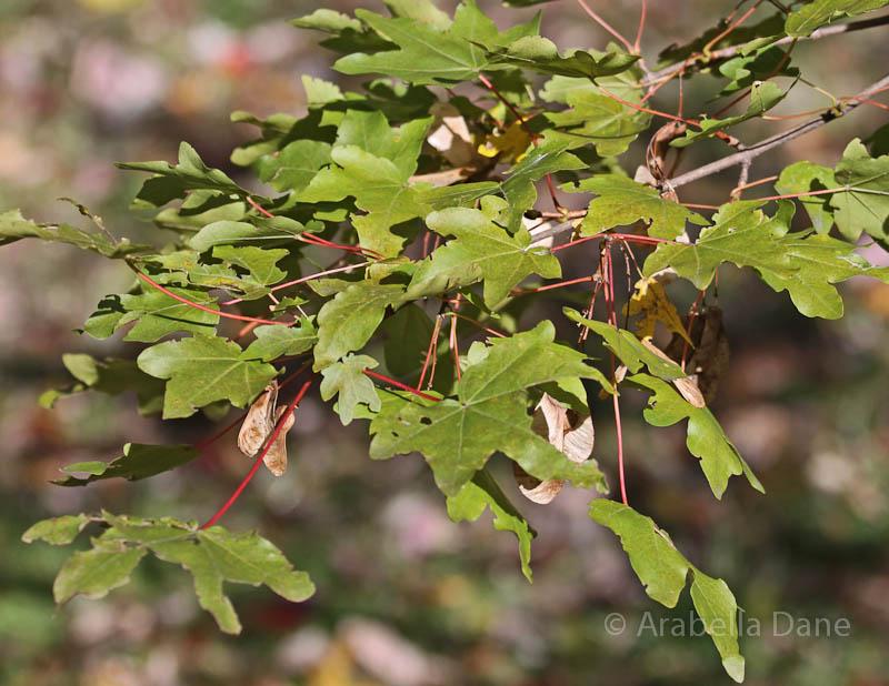 Acer campestre var. leiocarpum