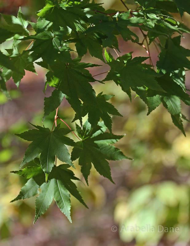 Acer cerifer