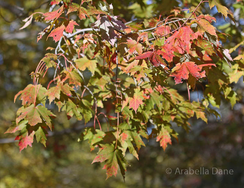Acer 'Armstrong'